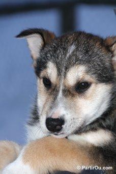 poids husky 5 mois