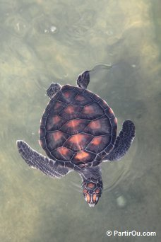 Tortue marine - Malaisie